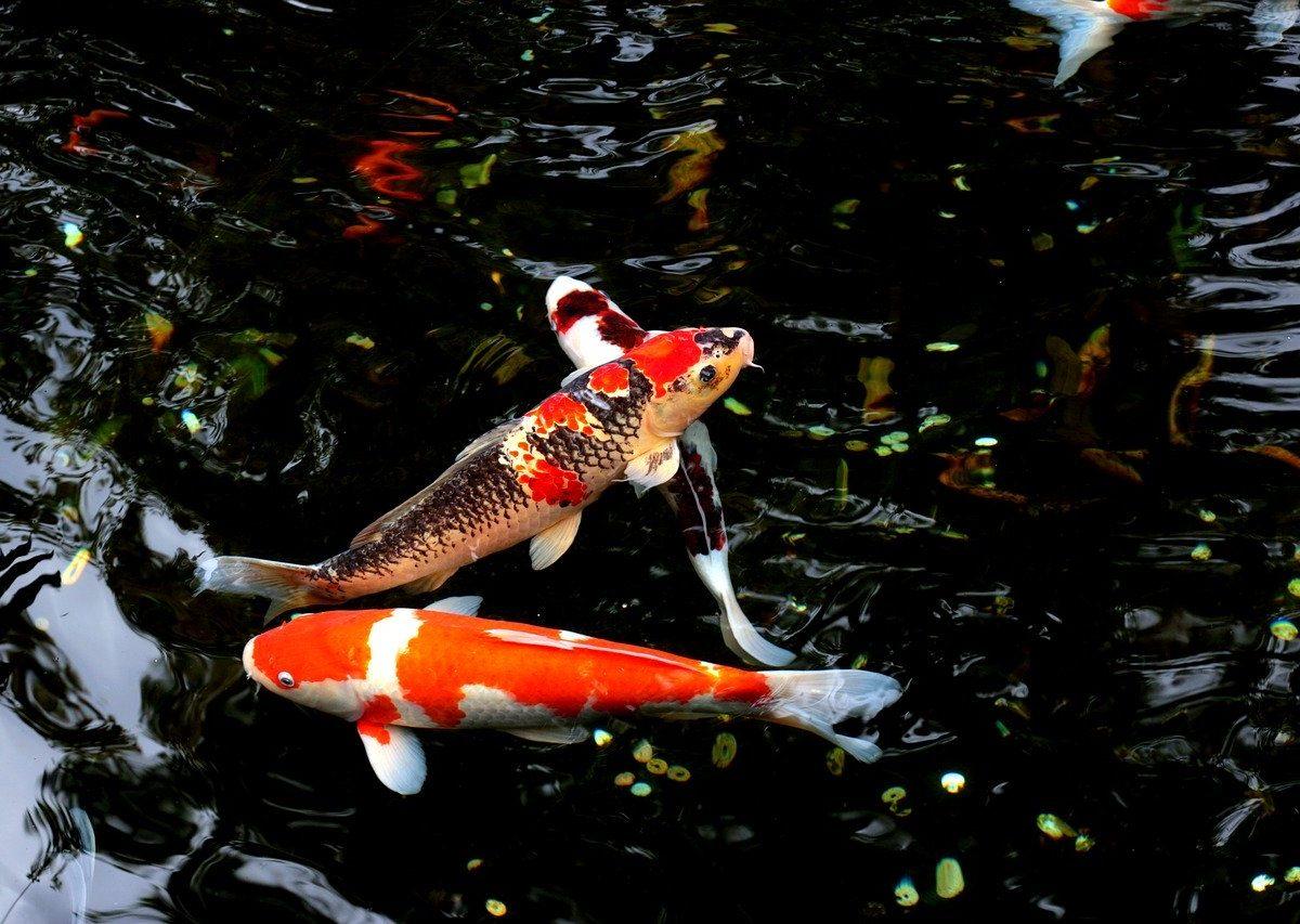 Białko zwierzęce w paszach dla ryb jest obecnie zastępowane roślinnym
