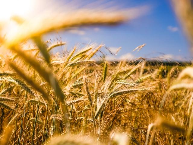 Skuteczny środek zaradczy na łamliwość zbóż